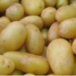 hlízy velmi raných brambor odrůdy Presto