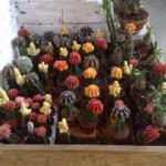 kaktusy v květu