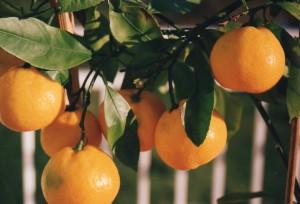 sklizeň citrusu, které vyrostli z roubu
