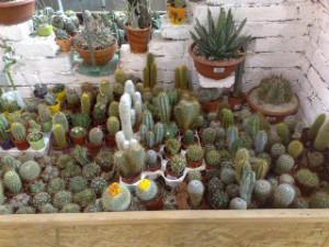 nové variace kaktusů, cikcak kaktus