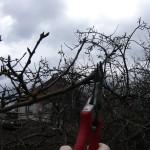 jabloně a hrušně řez na jaře