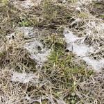 Plíseň sněžná na trávníku po rozmrlém sněhu