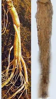 blahodárný léčivý kořen ženšen pravý sušený kde koupit