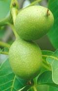 nové roubování stromu ořechu