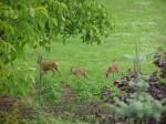 srnky na zahradě
