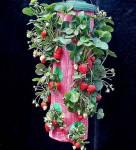 jahodovy zaves