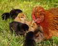 slepice s kuřaty