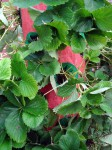 zaves pro jahody a bylinky
