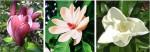 magnolie-nové druhy