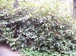 rhododendron ošetřený mykorhizou