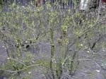 rododendron bez ošetření