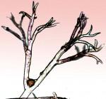 spory hub plísně cibulové