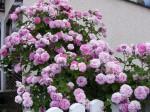 keříkové růže