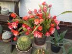 krásné kvetoucí kaktusy