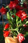 rozkvetlý kaktus