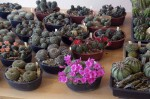 výstava kaktusů