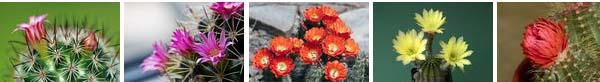 kvetoucí kaktusy