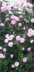 růže stolístka