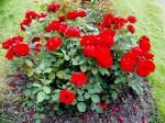 zaharada plná růží
