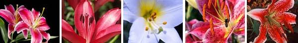druhy lilií