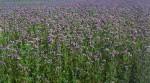 svazenka zelené hnojení