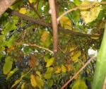 doma vypěstované kiwi