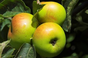 vertkálně rostoucí jabloně