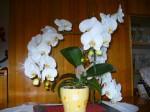 bílá orchidej 1