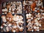 lesní houby