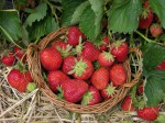 lignohumát na jahody