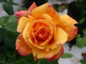 růže Sutterovo zlato – Sutter´s gold