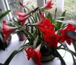 cerveny amarylys
