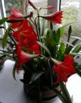 kvetouci amarylys