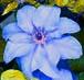 modrý clematis