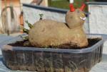 tvary brambor