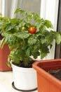 balkonova rajcata