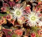 kosmatec Mesembryanthemum crystallinum
