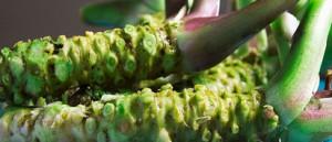 pestovani wasabi