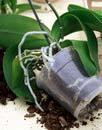 presazeni orchideje