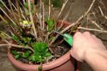 rez hortenzii