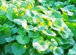 rostlina wasabi