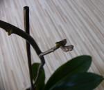 rozmnozovani orchideji