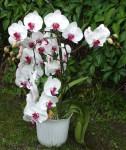bila orchidej