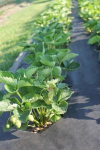 jahody na folii