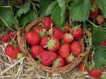 jahody na slame