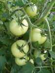 zastipovani rajcat