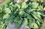bohyska jitrocelova (Hosta plantaginea)