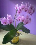 fialovy phalaenopsis