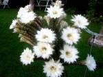 kvetouci kaktus