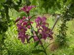 lilie fialova